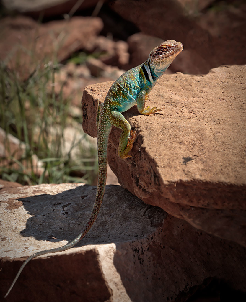 Collared Lizard, Arizona