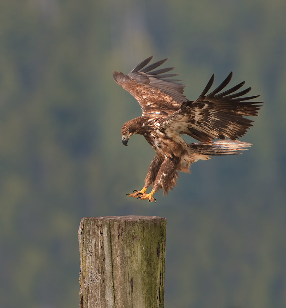 Immature Bald Eagle, British Columbia, Canada