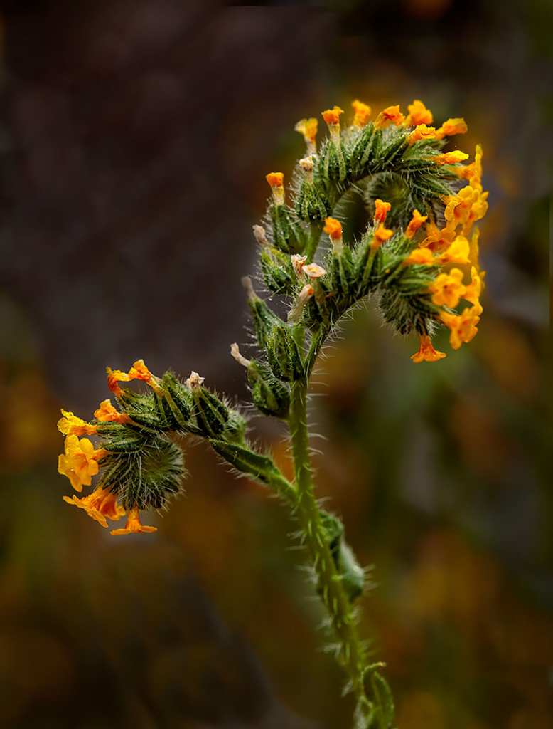 Fiddleneck, Carrizo Plain, CA
