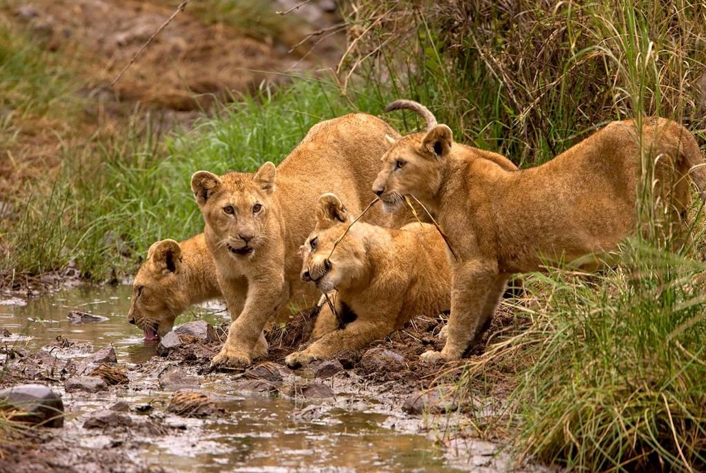 Cubs, Serengeti, Tanzania, Africa