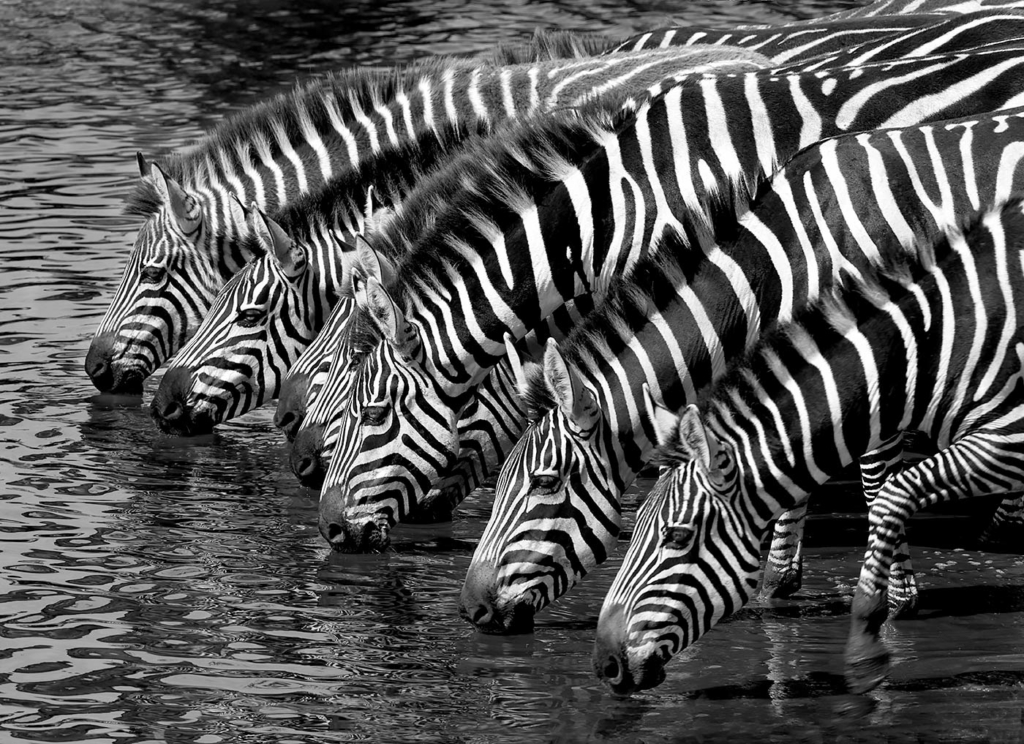 Zebras, Serengeti, Africa