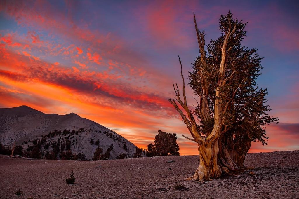 Bristlecone Pine Sunset, White Mtns, CA
