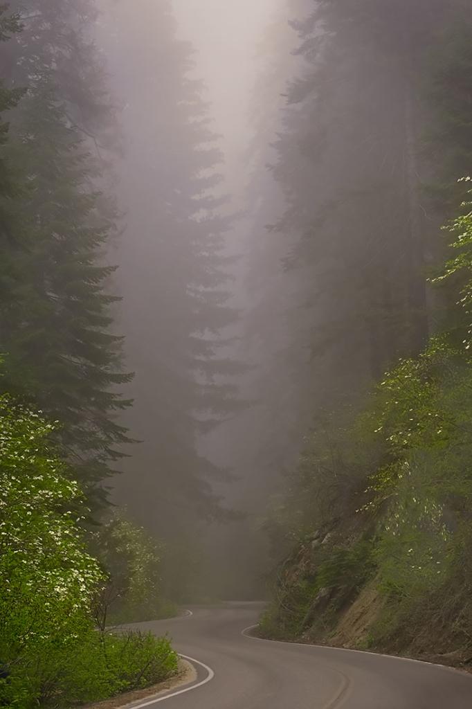 Dogwoods, Sierra Nevada, CA
