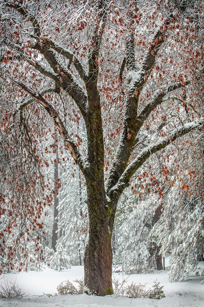 Yosemite Winter Tree