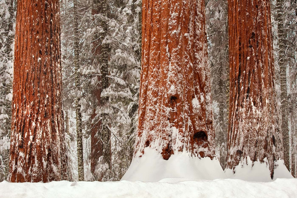Snowy Giant Sequoia, Sierra Nevada, CA